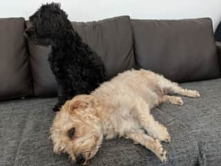 Brownie and Truffle on the couch