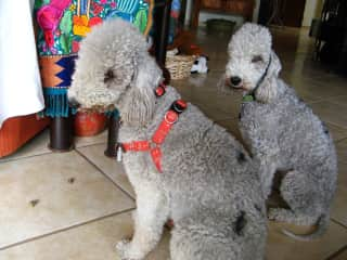 'Ory & Quimera'  Bedlington terriors   such a smart pair of pups!