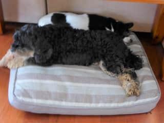 Best buddies, Sasha and Jessie, sharing a bed. Sydney, Australia January, 2018