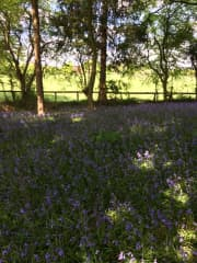 A walk around our bluebell field