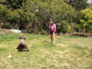 Gracie the standard poodle
