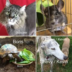 VANCOUVER, WASHINGTON MY NEW FURRY FRIENDS (CUPCAKE THE CAT; CORALINE THE CHINCHILLA, CHOVY THE GREYHOUND)  PLUS ONE NOT SO FURRY BUT SWEET NON THE LESS - BORIS THE TORTOISE