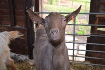 One of Becky's lovely goats in Northumberland.