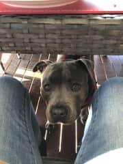 This is Blue English Staffy who I regularly look after.  Here he is adoringly looking up at me- he's under a table