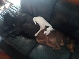 Captain lying on top of Doony (black) and DeeOGee (Brown)