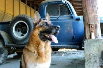 Tikko was a big, handsome shepherd. He lived to 14 years old. He was the most loyal and brave companion.
