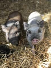 Mini Pigs: Rudi and Freddie 6 Sheep