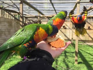 This is me feeding the rainbows their treat of the day having worked with these birds for almost a year it is a wonderful experience I will never forget.