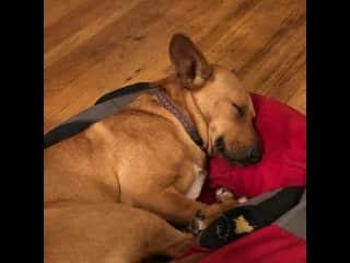 Sleeping Cookie pup