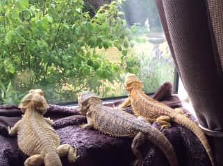 Bonnie, Clyde and gizmo watching the world go by. They had their own vivs but liked bathing and sitting in the window together.