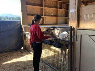 PetSitting a pack of 14 alpacas, 4 horses, 10 goats & 2 dogs: Farm life... We've got you covered!