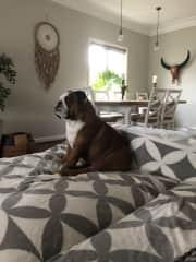 Daisy British Bulldog 30kilo