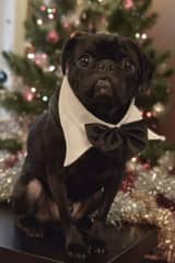My niece   Pug in his best Christmas suit