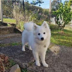 Bow is a happy Japanese Spitz puppy, he'll be about 9 months old in December