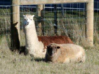 Alpaca Monte and his pal Millie the sheep