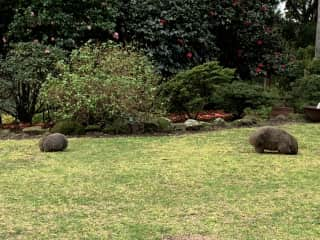 Wombats roam our property