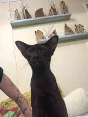 Lilith the oriental cat