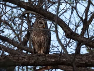We have a resident pair of barred owls in our backyard greenbelt that you can see most evenings from our back deck! Pictured is the female who we call Hooliet.