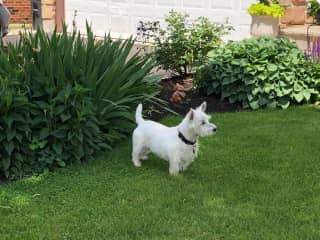 Kipper is our Rescue Westies, born July 1, 2009. He's a lot of fun and an eternal puppy.