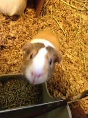 This is one of my guinea pigs, Jenny. I've had a huge soft spot for guinea pigs since I was a child.