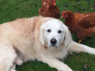 Teddie in Bedfordshire, UK with his chicken posse, Cheep and  Cheerful, Beeston, UK