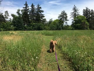 Nuggett enjoying a walk in the backyard of our 2 acre property.