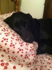 Sweet Samantha, our Labrador mix, who thinks she is human sleeping in my bed!