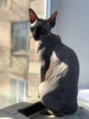 My Sphinx cat Bublik