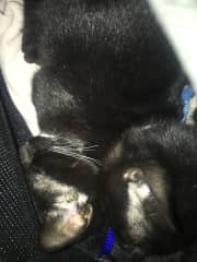 Transporting kittens from a shelter in St. Croix to the US for adoption