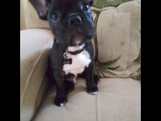 This is Buddy! A 3 month old french bulldog I used to sit! So cute! Look at those ears !