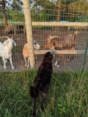 My pup Meadow greeting some goat friends at the farm I volunteer at