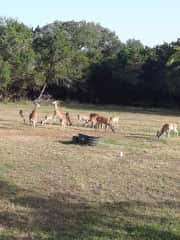 20 deer in the Texas hill country