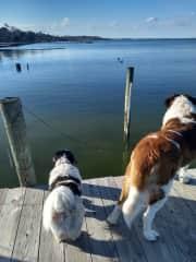 Ziggy & George watching ducks; pet sit in VA February '18.