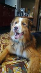Falko 4 years Australian Shepherd