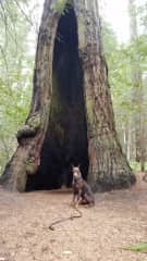 Wesson at the old redwood grove