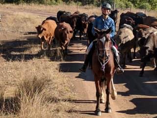 A cattle drive in Qld