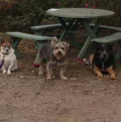 Bella with Bos and Teddy housesitting in Mornington