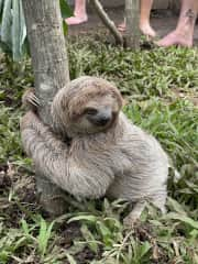 """A sloth I """"hung out with"""" at an animal sanctuary that I volunteered at in Costa Rica"""