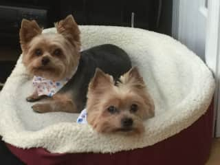 Our two female Yorkie's, Katie and Lizzie