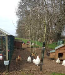 The flock of 30 chickens we looked after near Brinkworth - each one had a name too :)