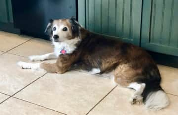 She's a 13 year old sweet border collie mix.