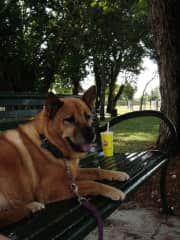 This is my Sassy.  She passed away a few years ago at 16 yrs old. I got her when she was about 11 months old.  She was a rescue.   Sprocket my Canine companion before her lived to be 18.