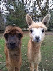 Alpaca babies Pint and Asti