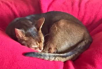 One of two gorgeous Abyssinians, Seattle 11/2018