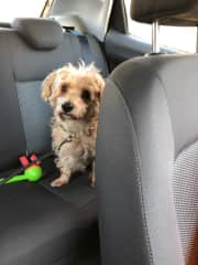 Brownie going to park