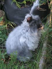 Cosmo our first sweet Angora rabbit