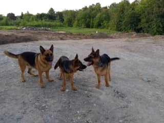 Three young Shepard's who are a delight to care for in Ontario