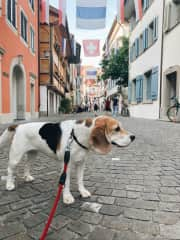 Ginger the beagle in old town Zug
