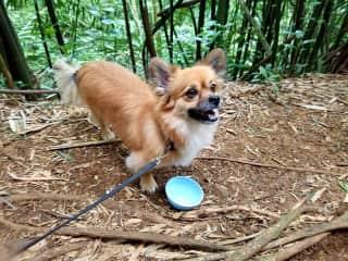 Hiking with handsome Benny, Koolau Mountains, Hawaii