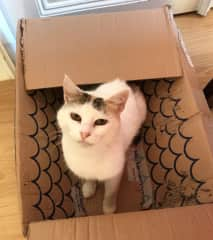 This is Kitty, another of my July sit cats - give a cat a box and they will be happy all day!